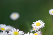 Daisy,Front or Back Yard,Fi...