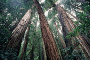 Sequoia,Redwood,Muir Woods,...