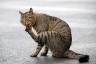 Domestic Cat,Licking,Cleani...