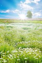 Sunbeam,Field,Daisy,Flower,...
