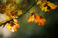 Oak Leaf,Oak Tree,Park - Ma...