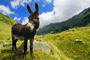 Donkey,Ass,Mountain,Portrai...