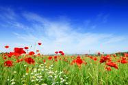 Poppy,Flower,Field,Red,Sky,...