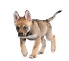 Wolf,Dog,Puppy,Walking,Anim...