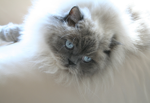 Blue Point Doll Face Himalayan Cat
