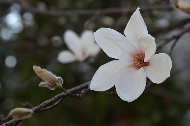 Kwiat magnolii 1