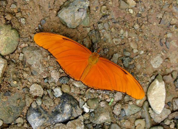 Julia butterfly (Dyras Iulia)