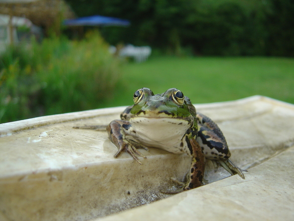 V Frog Kpm frog 3, photo f...