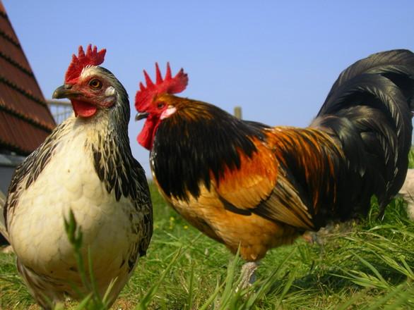 Bassette Chicken Cock & Hen