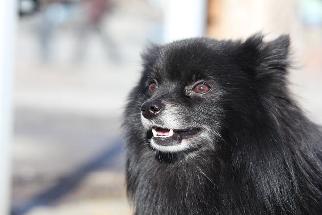 Mittelspitz Dog 1