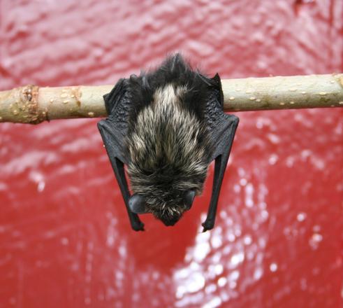 Fladdermöss är skygga men vackra djur