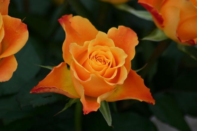 Flower,Rose