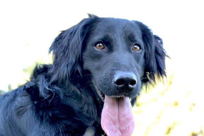 Black retriever dog 5