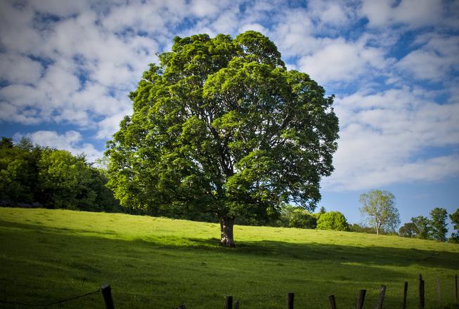 Ards Tree