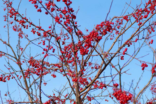 Winter Crabapples