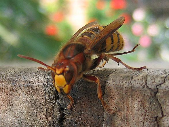 Dangerous Wasp Photos 1316278 Freeimages Com