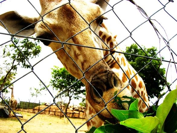 Giraffe behind a fence