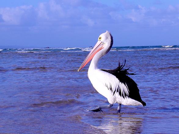 Pelican 2