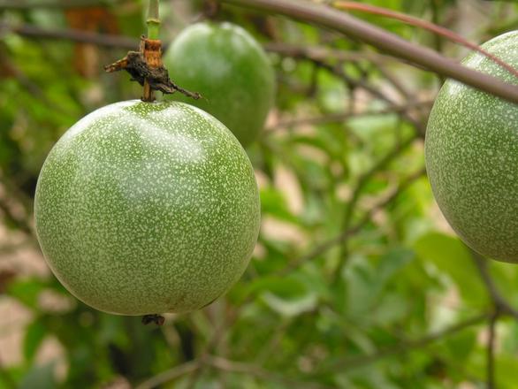 Marakuja - owoce tropikalne