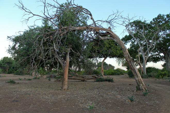 Weathered Trees