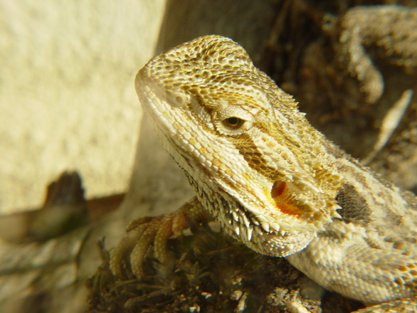 Free bearded dragon 5 Stock Photo - FreeImages.com