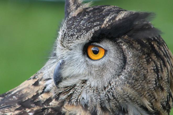 Owl Looking