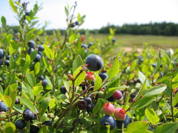 Free Blueberry Field Close Up Stock Photo Freeimages Com