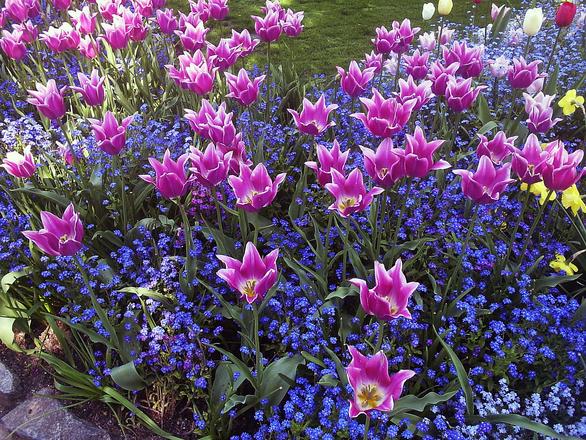 Puple Tulips