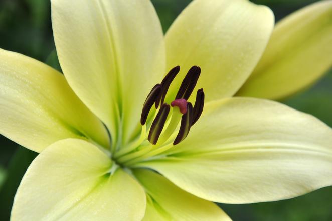 White Lilium