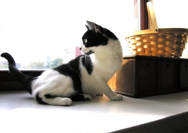 Pet, Cat