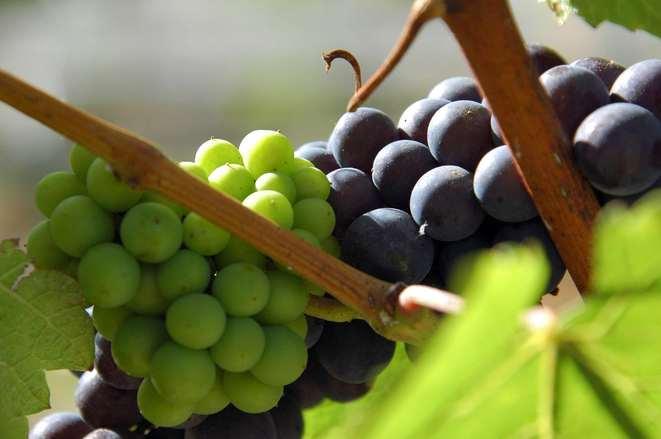 ebony and ivory: wine making in new zealand