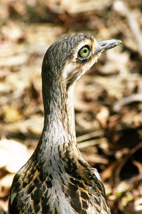 Bush Curlew
