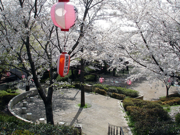 Japanese cherry blossom viewing date