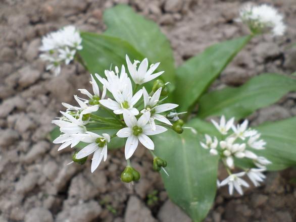 Ramsons flower - wild garlic