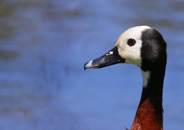 hite Faced Duck 1