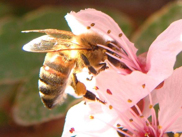 Bee Gatherer