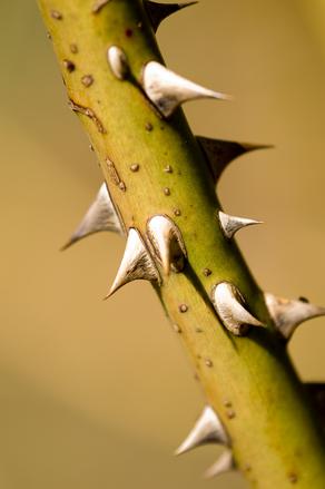 Thorns 2