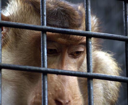 free sad monkey stock photo freeimagescom