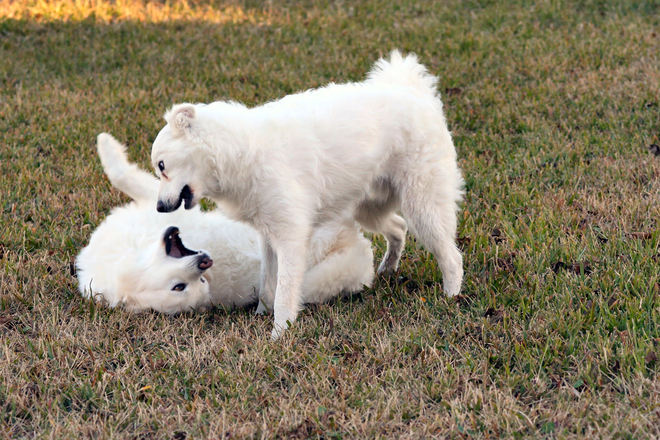 Free Dogs Communicating Stock Photo - FreeImages.com