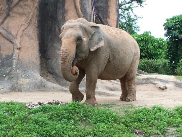 Indian Elephants 4