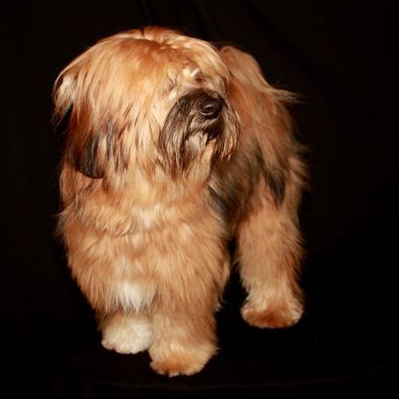 Tibetan Terrier 3