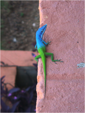 Cuban Lizard 2