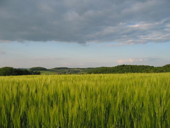 A lot of barley 5