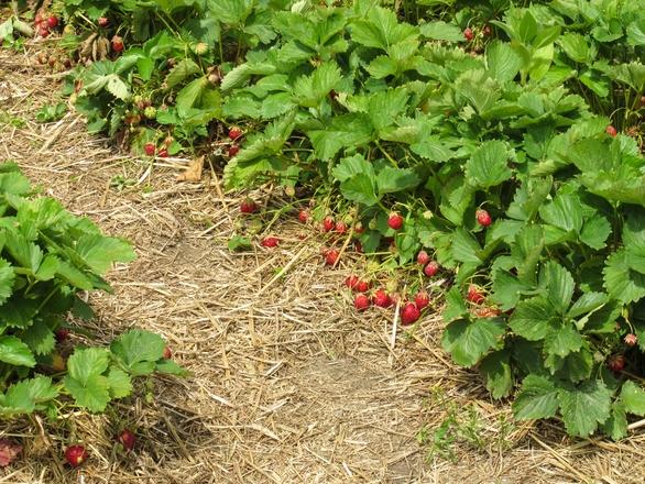ripe organic strawberries 3