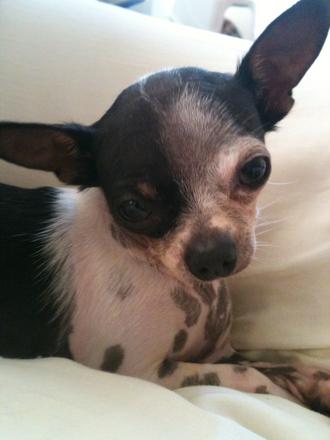 Chihuahuas 1