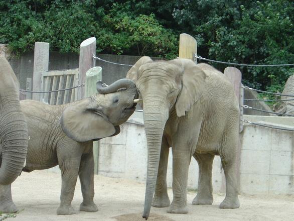 N F Elephant 2 elephants in Schoennbr...