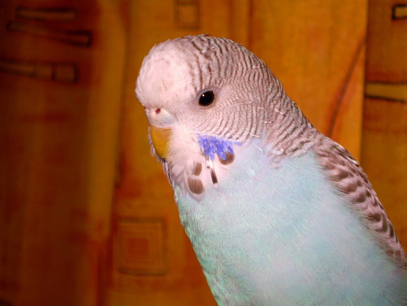 Young Budgie
