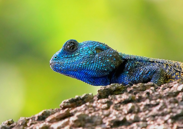 blue-head lizard 2