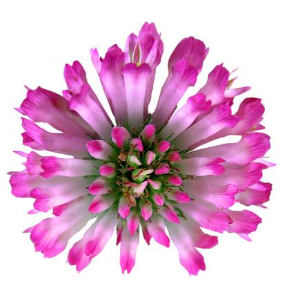 Clover / Trifolium