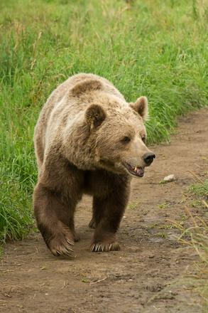 Brown Bear, european